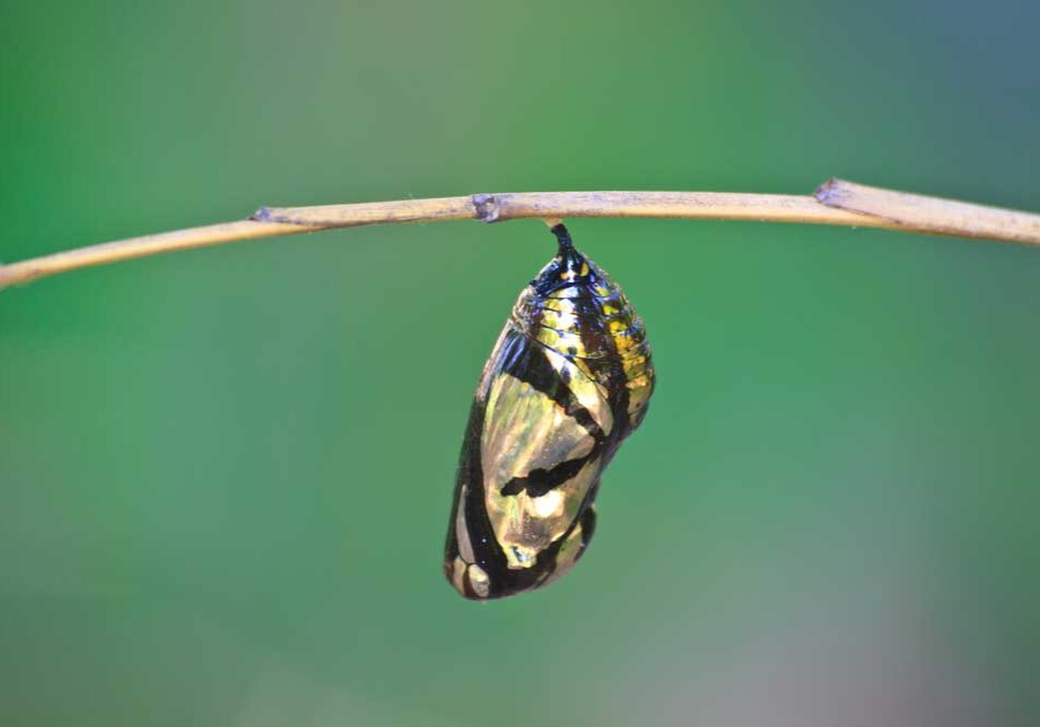 An image of a monarch chrysalis on a thin twig against a green background depicting things that change.