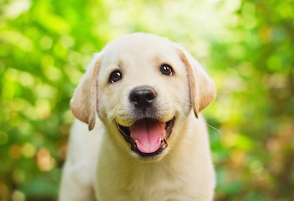 Image of cute yellow lab puppy smiling to the camera.